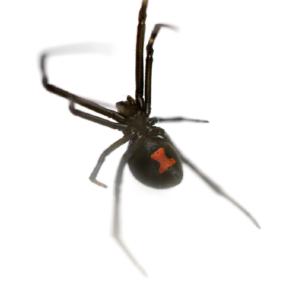 Black Widow Spider Control