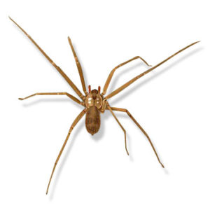 brown-recluse-5