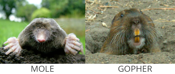 mole-golpher