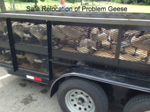 relocating-geese